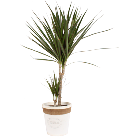 Dracaena Marginata in witte chipwood pot(Dracaena Marginata)