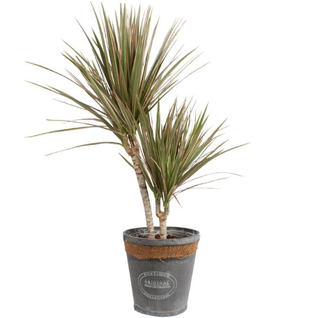 Dracaena Marginata Bicolour in grijze chipwood pot (Dracaena Marginata Bicolour)