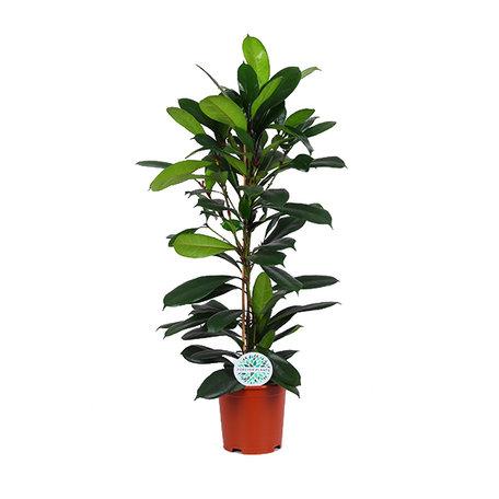 Ficus Cyathistipula(2145)