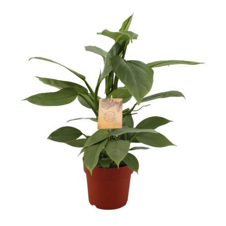 Silver Sword  - Hoogte: 40 cm - Philodendron Hastatum