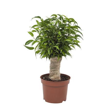 Ficus Natasja(Ficus benjamina)