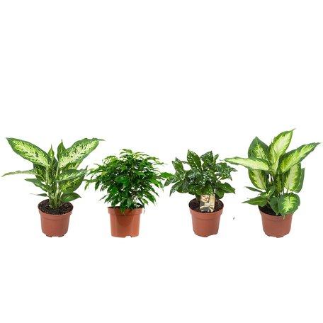 4 x Ficus, koffieplant, Dieffenbachie compacta en Camilla - Hoogte: 25 cm - eigentijdse groene planten