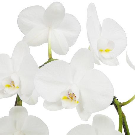 Witte vlinder orchidee - Mirror Miracle(Phalaenopsis) - Hoogte: 45 cm - 2 Takken