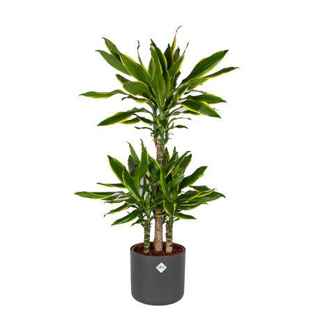 Drakenplant - Dracaena Golden Coast in Elho B.for soft sierpot Antraciete pot