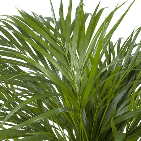 Areca / Dypsis Palm (Areca)