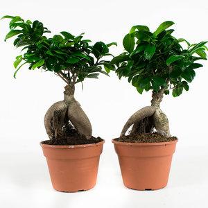2x Bonsai - Hoogte: 40 cm - Ficus Gin Seng
