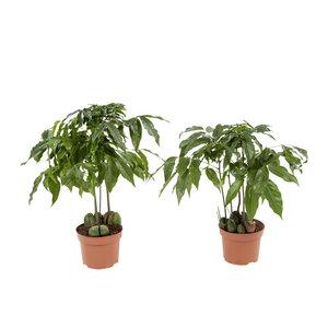 2x Australische kastanje - Hoogte: 30 cm - Castanospermum Australe