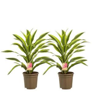 """2x Drakenboom """"lemon lime"""" - Hoogte: 70 cm - Dracaena lemon Lime - luchtzuiverend"""