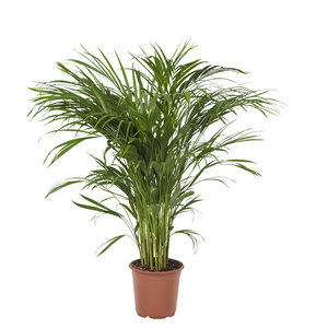 Goudpalm - Hoogte: 90cm - Areca / Dypsis Palm